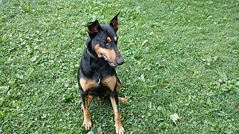 Doberman Pinscher Dog for adoption in Columbus, Ohio - Traveler