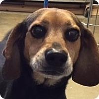 Adopt A Pet :: Booker - Canoga Park, CA