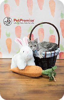 Domestic Shorthair Kitten for adoption in Columbus, Ohio - Rat