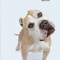 Adopt A Pet :: Goose - Studio City, CA
