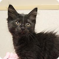 Adopt A Pet :: Peeps - Naperville, IL