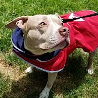 Adopt A Pet :: Rousey - Armonk, NY