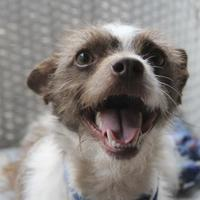 Fox Terrier (Toy) Mix Dog for adoption in Plano, Texas - Cornell