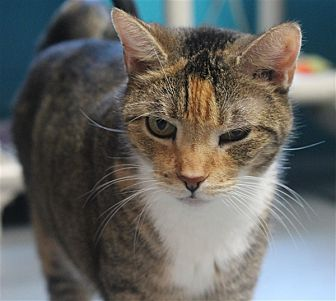 Domestic Shorthair Cat for adoption in North Branch, New Jersey - Pretty Girl
