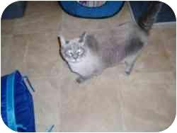 Siamese Cat for adoption in Hamburg, New York - Frosty