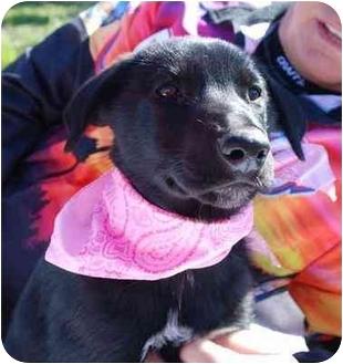 German Shepherd Dog/Labrador Retriever Mix Puppy for adoption in Portsmouth, Rhode Island - Debbie