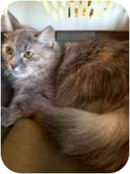 Domestic Longhair Cat for adoption in Phoenix, Arizona - Beyonce