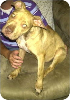American Pit Bull Terrier Puppy for adoption in Killen, Alabama - Angelo- COURTESY LISTING