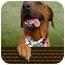 Photo 1 - Redbone Coonhound/Rhodesian Ridgeback Mix Dog for adoption in Pasadena, California - MORENA