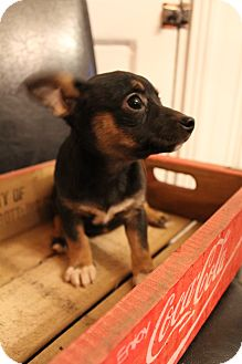 Chihuahua/Terrier (Unknown Type, Small) Mix Puppy for adoption in Hagerstown, Maryland - Tia
