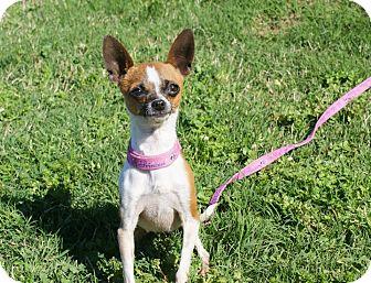 Chihuahua Mix Dog for adoption in Yuba City, California - 03/20 Pulga