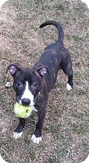 American Pit Bull Terrier Mix Dog for adoption in Greendale, Wisconsin - Vida