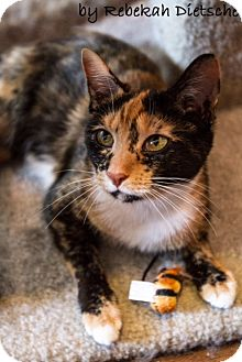 Calico Cat for adoption in Byron Center, Michigan - Tierney