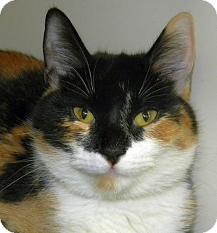 Calico Cat for adoption in Green Bay, Wisconsin - Nicki