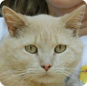 Domestic Shorthair Kitten for adoption in Lexington, Missouri - Derp