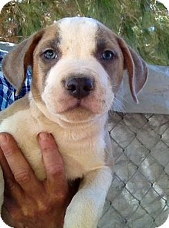 American Staffordshire Terrier Mix Puppy for adoption in Studio City, California - ALFIE