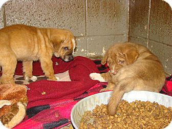 St. Bernard Mix Puppy for adoption in Henderson, North Carolina - Autumn and Fall (m/f pups)
