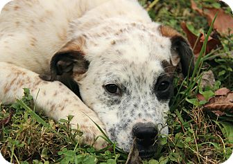 Australian Cattle Dog/Mastiff Mix Puppy for adoption in Hagerstown, Maryland - Ivy