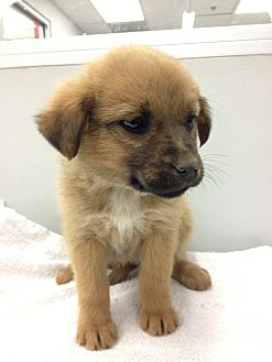 Shepherd (Unknown Type) Mix Puppy for adoption in Westminster, Colorado - Patti