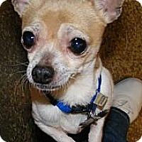 Adopt A Pet :: Caci - Mt Gretna, PA