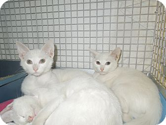 Domestic Shorthair Kitten for adoption in Medina, Ohio - Amber