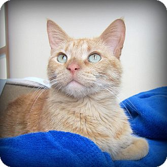 Domestic Shorthair Cat for adoption in Roseville, Minnesota - Tristan