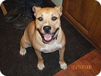 Pit Bull Terrier/Labrador Retriever Mix Dog for adoption in Sparks, Nevada - Crystal
