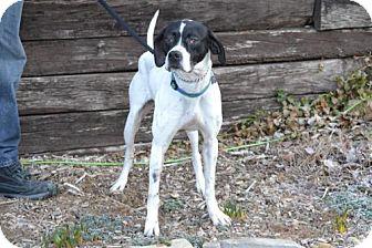 Pointer Dog for adoption in Parkville, Missouri - Dax
