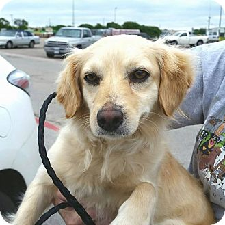 Dachshund/Spaniel (Unknown Type) Mix Dog for adoption in DFW, Texas - Laci