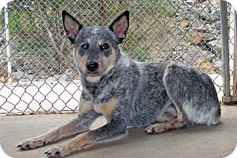 Blue Heeler Dog for adoption in Ruidoso, New Mexico - Storm