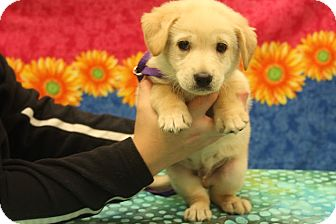 Labrador Retriever/Shepherd (Unknown Type) Mix Puppy for adoption in Bedminster, New Jersey - Jagger