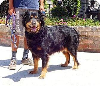 Retriever (Unknown Type)/Rottweiler Mix Dog for adoption in Lathrop, California - Chanel