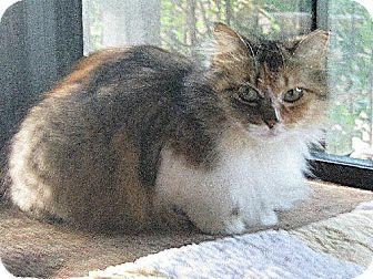 Maine Coon Cat for adoption in San Antonio, Texas - Chloe