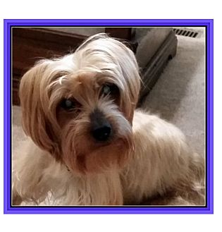 Yorkie, Yorkshire Terrier Mix Dog for adoption in Newfield, New Jersey - Dylan