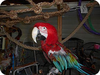 Macaw for adoption in Vancouver, Washington - Ko Jo'  Greenwing Macaw