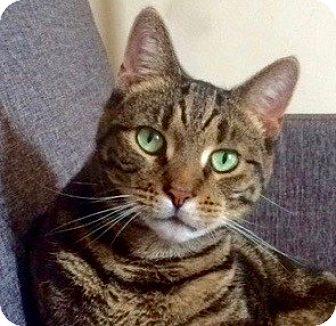 Domestic Shorthair Cat for adoption in Long Beach, New York - Tony