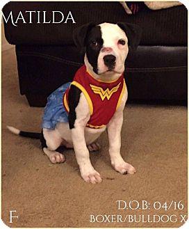 Boxer/Bulldog Mix Puppy for adoption in DeForest, Wisconsin - Matilda