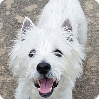 Adopt A Pet :: INDY HAS BEEN ADOPTED! - Frisco, TX