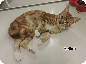 Domestic Shorthair Cat for adoption in Slidell, Louisiana - Bellini