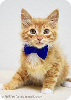 Domestic Longhair Kitten for adoption in Dublin, California - Muir
