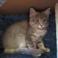 Adopt A Pet :: LENNARDO - Mt. Shasta, CA