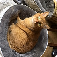 Adopt A Pet :: Henry-Declawed - Naperville, IL