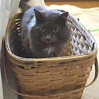 Domestic Longhair Cat for adoption in Chisholm, Minnesota - Robbie