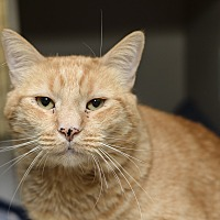 Adopt A Pet :: Pumpkin - Whitehall, PA