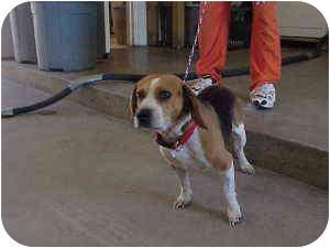 Beagle Mix Dog for adoption in Gladwin, Michigan - Hunter