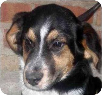Australian Shepherd/Border Collie Mix Puppy for adoption in Chicago, Illinois - Gavin