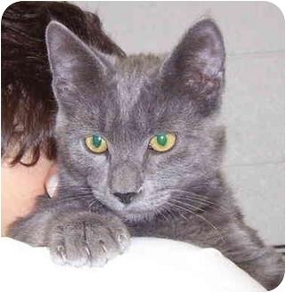 Domestic Shorthair Cat for adoption in Somerset, Pennsylvania - Peanut I