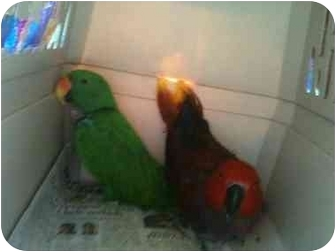 Eclectus for adoption in Fountain Valley, California - Vos Pair