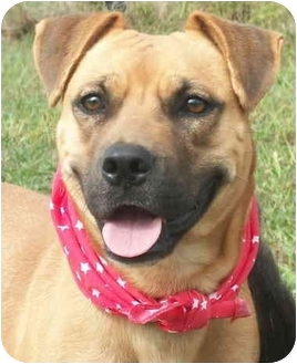 Shepherd (Unknown Type)/Labrador Retriever Mix Dog for adoption in Cleveland, Tennessee - Hounds for the Holidays: Latte