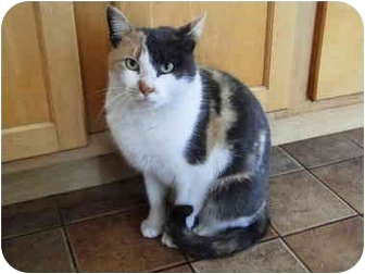 Calico Cat for adoption in Putnam Valley, New York - Cleo